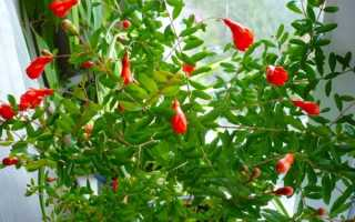 Гранатовое дерево в домашних условиях