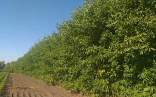 Как правильно посадить ореховый сад