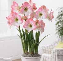 Почему не цветет амариллис в домашних условиях