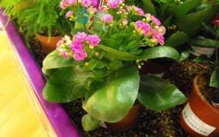 Когда цветет каланхоэ в домашних условиях
