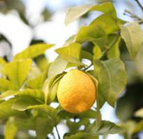 Как посадить лимонное дерево в домашних условиях