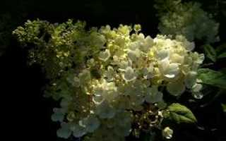 Гортензия метельчатая грандифлора посадка и уход