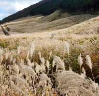 Пампасная трава кортадерия