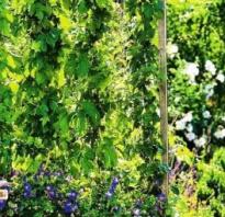 Вьющиеся растения для сада многолетники