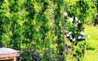 Многолетники вьющиеся цветущие все лето