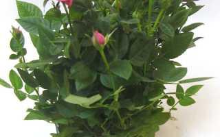 Роза парад микс