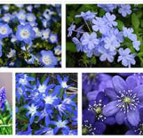 Маленькие голубые цветочки название