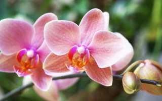 Засыхает орхидея что делать