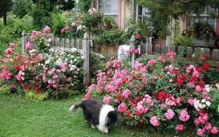 Можно ли удобрять розы куриным пометом
