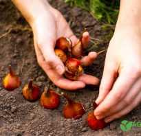 Когда высаживать тюльпаны осенью