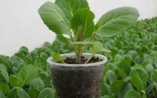 Брюссельская капуста выращивание и уход в подмосковье