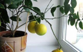 Лимон выращивание из косточки в домашних условиях
