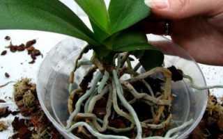 Можно ли пересадить орхидею цветущую