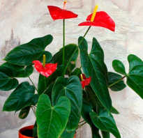 Мужской цветок антуриум что означает