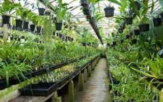Можно ли размножить орхидею корнями