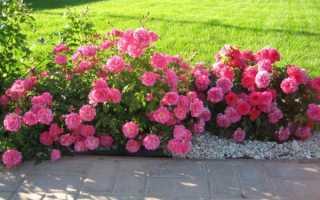 Почвопокровные розы что это такое