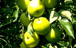 Уход за колоновидной яблоней после посадки