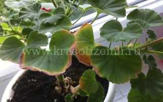 Почему сохнут листья у герани
