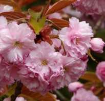 Японская вишня сакура