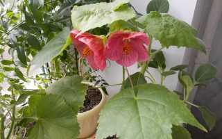Комнатный цветок с разноцветными листьями