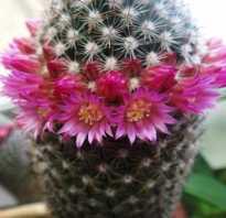 Примета цветет кактус