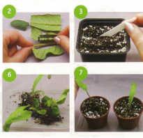 Глоксиния размножение листом когда появятся ростки