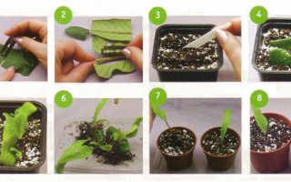 Как укоренить лист глоксинии