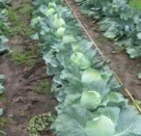 Когда убирать капусту с грядки осенью