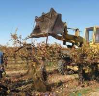 Пересадка взрослого винограда осенью
