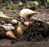 Когда выкапывать луковицы тюльпанов после цветения