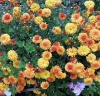 Хризантема дубок посадка и уход