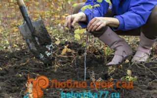 Можно ли пересаживать малину осенью