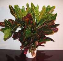 Растение кодиеум