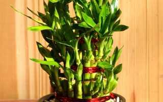 Бамбук растение в домашних условиях