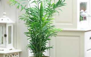 Как правильно пересадить пальму