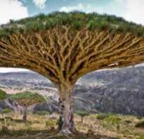 Драконово дерево драцена