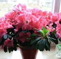 Постоянно цветущие комнатные растения