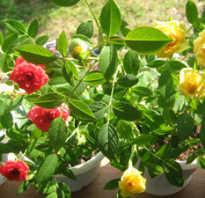Горшечная роза уход в домашних условиях