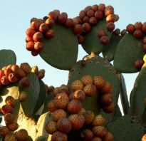 Фрукт кактуса