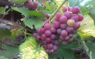 Как правильно произвести обрезку винограда осенью