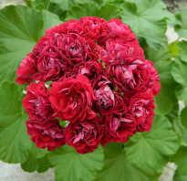 Розебудные пеларгонии каталог