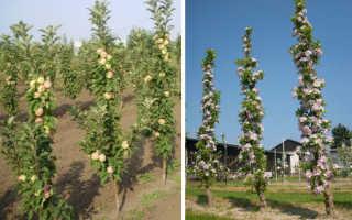 Как правильно посадить колоновидную яблоню осенью