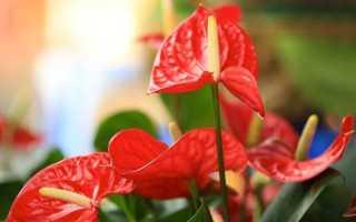 Цветы комнатные антуриум