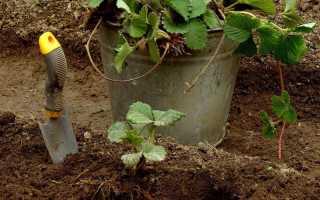Как сажать клубнику осенью