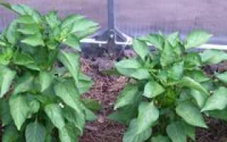 Семена перцев для теплицы из поликарбоната