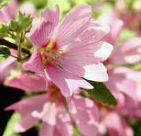 Лаватера выращивание из семян