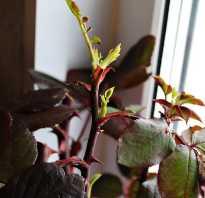 Можно ли черенковать розы осенью
