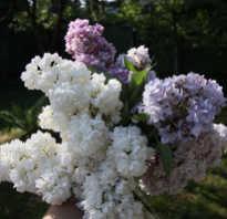 Сирень цветок