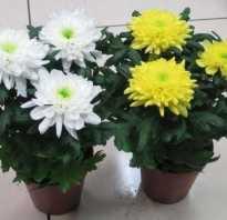 Уход за комнатной хризантемой