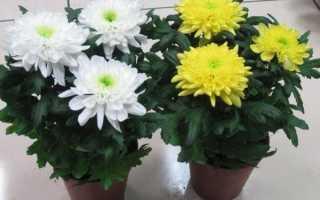 Комнатная хризантема уход в домашних условиях